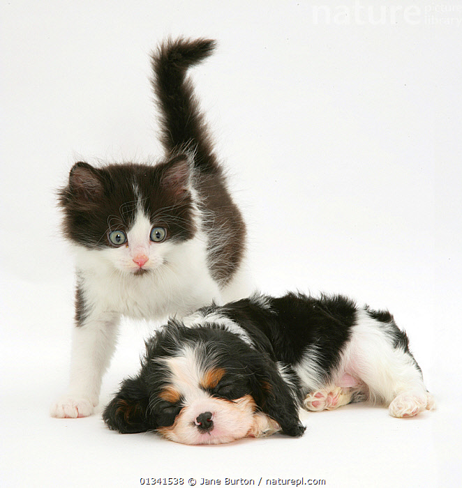 Black-and-white kitten and sleeping Cavalier King Charles Spaniel puppy. NOT AVAILABLE FOR BOOK USE, BABIES,CANIS FAMILIARIS,CATS,COLOUR COORDINATED,CUTE,CUTOUT,DOGS,DOMESTIC CAT,DOMESTIC DOG,EXPRESSIONS,FELIS CATUS,FLUFFY,FRIENDS,HUMOROUS,MIXED SPECIES,PETS,PORTRAITS,PUPPIES,SLEEPING,SMALL DOGS,STUDIO,TOY DOGS,TWO,VERTEBRATES,WHITE,Concepts,,Cutout,White background,, Jane Burton