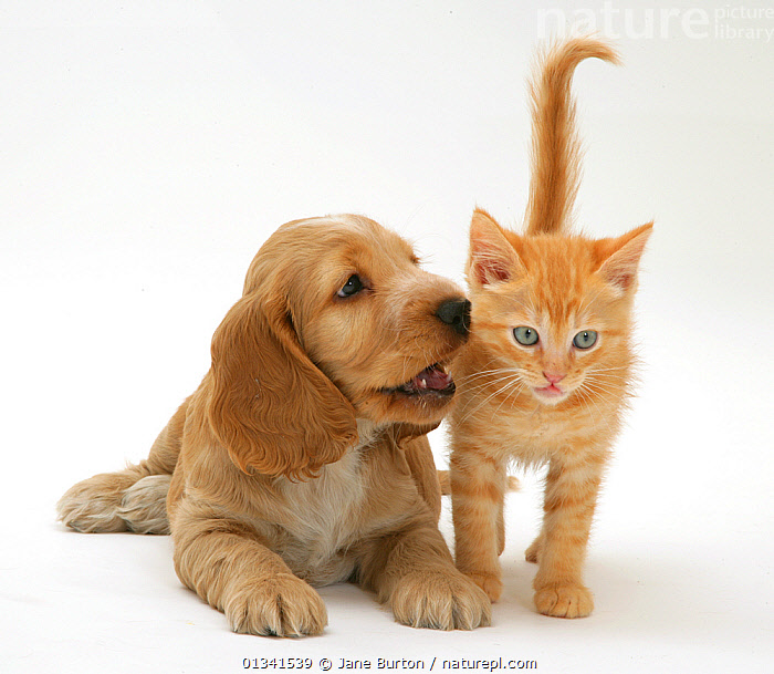 Golden Cocker Spaniel puppy and red kitten. NOT AVAILABLE FOR BOOK USE, AFFECTIONATE,BABIES,CANIS FAMILIARIS,COLOUR COORDINATED,CUTE,CUTOUT,DOGS,DOMESTIC CAT,DOMESTIC DOG,FELIS CATUS,FLUFFY,FRIENDS,GUNDOGS,MEDIUM DOGS,MIXED SPECIES,PETS,PORTRAITS,PUPPIES,STUDIO,TWO,VERTEBRATES,WHITE,Canids,,Cutout,White background,, Jane Burton