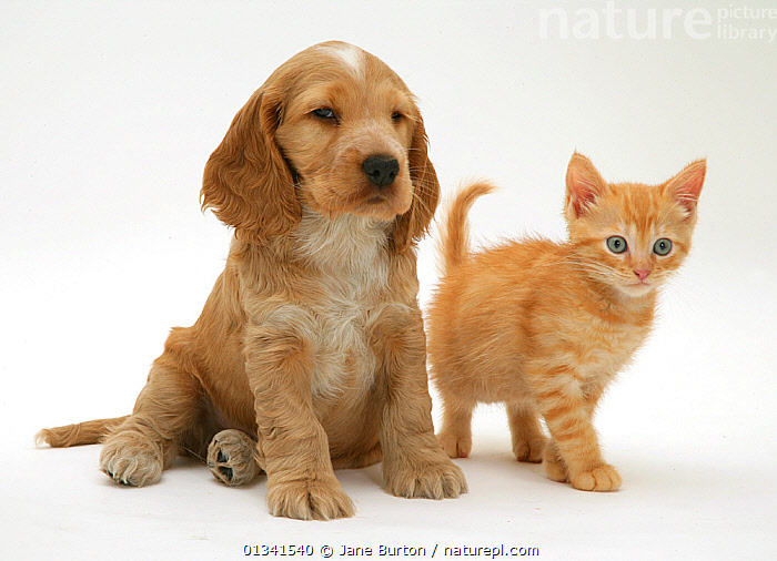 Golden Cocker Spaniel puppy and red kitten. NOT AVAILABLE FOR BOOK USE, BABIES,CANIS FAMILIARIS,CATS,COLOUR COORDINATED,CUTE,CUTOUT,DOGS,DOMESTIC CAT,DOMESTIC DOG,FELIS CATUS,FLUFFY,FRIENDS,GUNDOGS,MEDIUM DOGS,MIXED SPECIES,ORANGE,PETS,PORTRAITS,PUPPIES,STUDIO,TWO,VERTEBRATES,WHITE,Canids,,Cutout,White background,, Jane Burton