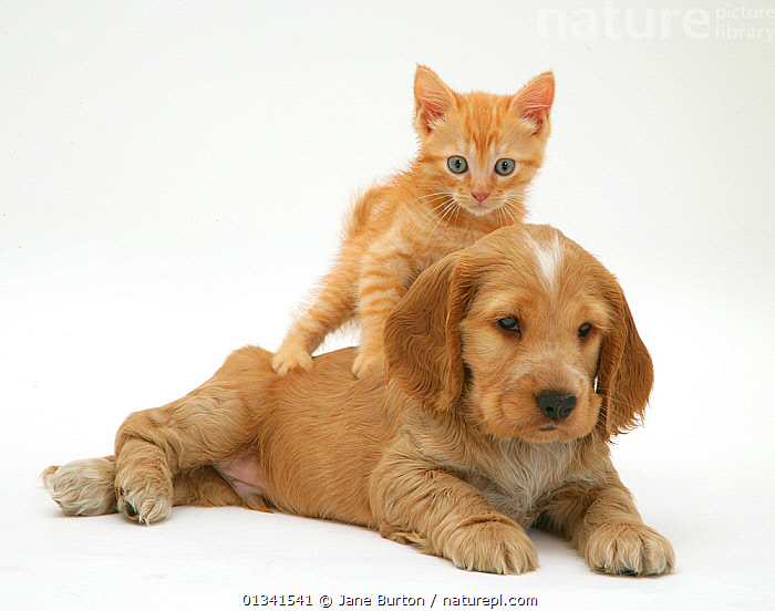 Red kitten climbing on the back of a Golden Cocker Spaniel puppy. NOT AVAILABLE FOR BOOK USE, BABIES,CANIS FAMILIARIS,CATS,COLOUR COORDINATED,CUTE,CUTOUT,DOGS,DOMESTIC CAT,DOMESTIC DOG,FELIS CATUS,FLUFFY,FRIENDS,GUNDOGS,HUMOROUS,MEDIUM DOGS,MIXED SPECIES,ORANGE,PETS,PORTRAITS,PUPPIES,STUDIO,TWO,VERTEBRATES,WHITE,Concepts,,Cutout,White background,, Jane Burton