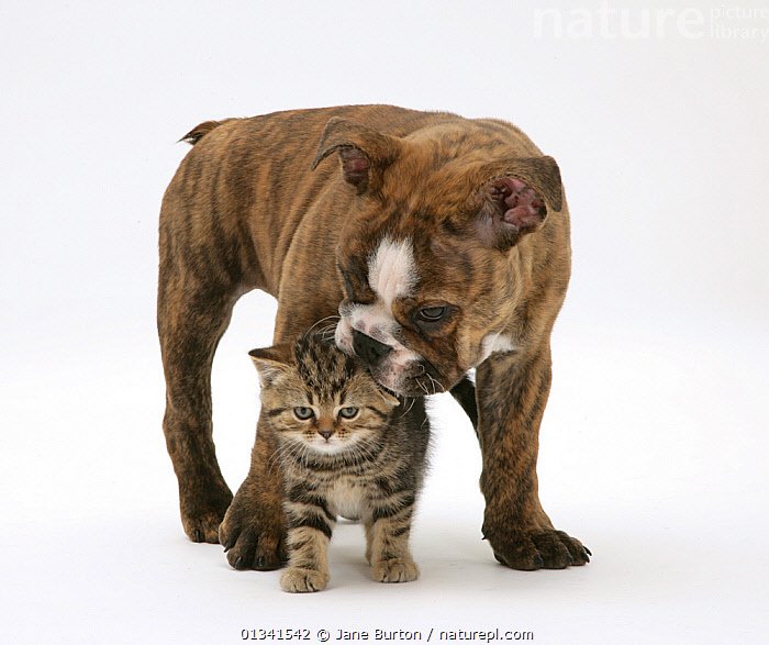 Bulldog puppy playing with tabby kitten. NOT AVAILABLE FOR BOOK USE, AFFECTIONATE,BABIES,CANIS FAMILIARIS,CATS,CUTE,CUTOUT,DOGS,DOMESTIC CAT,DOMESTIC DOG,FELIS CATUS,FLUFFY,FRIENDS,LARGE DOGS,MIXED SPECIES,PETS,PORTRAITS,PROTECTION,PUPPIES,STUDIO,TWO,UTILITY DOGS,VERTEBRATES,WHITE,Canids,,Cutout,White background,, Jane Burton