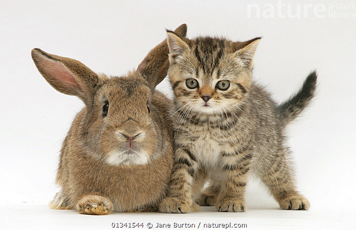 British shorthair brown tabby female kitten with young agouti rabbit. NOT AVAILABLE FOR BOOK USE, BABIES,CATS,CUTE,CUTOUT,DOMESTIC CAT,FELIS CATUS,FLUFFY,FRIENDS,LAGOMORPHS,MIXED SPECIES,PETS,PORTRAITS,RABBITS,STUDIO,TWO,VERTEBRATES,WHITE,Mammals, Jane Burton
