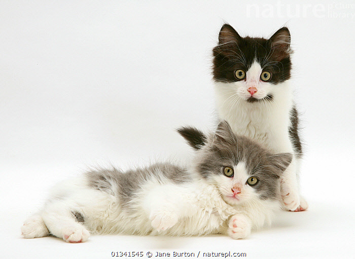 Persian cross black-and-white and blue-bicolour Nancy kittens., BABIES,CATS,CUTE,CUTOUT,FLUFFY,FRIENDS,LOOKING AT CAMERA,PETS,PORTRAITS,SIBLINGS,STUDIO,TWO,VERTEBRATES,WHITE, Jane Burton