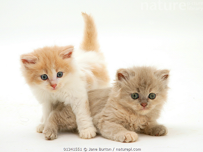 Ginger-and-white and lilac-tortoise shell Persian-cross kittens., BABIES,CATS,CUTE,CUTOUT,FLUFFY,FRIENDS,PETS,PORTRAITS,SIBLINGS,STUDIO,TWO,VERTEBRATES,WHITE, Jane Burton