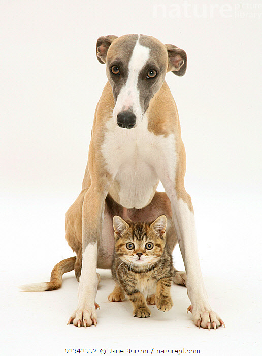 Whippet standing over a tabby kitten. NOT AVAILABLE FOR BOOK USE, BABIES,CANIS FAMILIARIS,CATS,CUTE,CUTOUT,DOGS,DOMESTIC CAT,DOMESTIC DOG,FELIS CATUS,FRIENDS,HOUNDS,LOOKING AT CAMERA,MEDIUM DOGS,MIXED SPECIES,PETS,PORTRAITS,STUDIO,TWO,VERTEBRATES,WHITE,Canids, Jane Burton