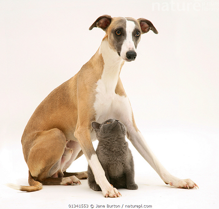 Whippet and grey kitten. NOT AVAILABLE FOR BOOK USE, BABIES,CANIS FAMILIARIS,CUTE,CUTOUT,DOGS,DOMESTIC CAT,DOMESTIC DOG,FELIS CATUS,FLUFFY,FRIENDS,HOUNDS,MEDIUM DOGS,MIXED SPECIES,PETS,PORTRAITS,PROTECTIVE,STUDIO,TWO,VERTEBRATES,WHITE,Canids, Jane Burton
