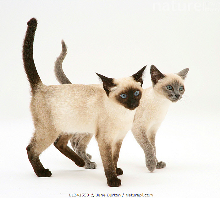 Seal-point and blue-point Siamese Kittens walking together., BABIES,CATS,CUTE,CUTOUT,FRIENDS,PETS,PORTRAITS,SIBLINGS,STUDIO,TWO,VERTEBRATES,WHITE, Jane Burton
