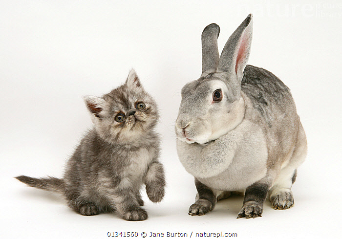 Silver exotic kitten, 9 weeks, with silver rex doe rabbit. NOT AVAILABLE FOR BOOK USE, BABIES,CATS,COLOUR COORDINATED,CUTE,CUTOUT,DOMESTIC CAT,DOMESTIC RABBIT,FELIS CATUS,FLUFFY,FRIENDS,GREY,LAGOMORPHS,MIXED SPECIES,ORYCTOLAGUS CUNICULUS,PETS,PORTRAITS,RABBITS,STUDIO,TWO,VERTEBRATES,WHITE,Mammals, Jane Burton