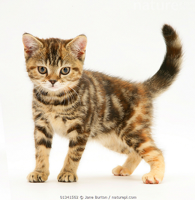 British shorthair tabby-tortoiseshell kitten., BABIES,CATS,CUTE,CUTOUT,EXPRESSIONS,FLUFFY,LOOKING AT CAMERA,PETS,PORTRAITS,STUDIO,VERTEBRATES,WHITE, Jane Burton