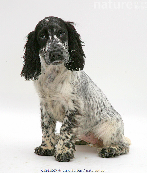Black-and-white Cocker Spaniel puppy sitting., BABIES,BLACK,CUTE,CUTOUT,DOGS,EXPRESSIONS,GUNDOGS,LOOKING AT CAMERA,MEDIUM DOGS,PETS,PORTRAITS,PUPPIES,STUDIO,VERTEBRATES,VERTICAL,WHITE,Canids,,Cutout,White background,, Jane Burton