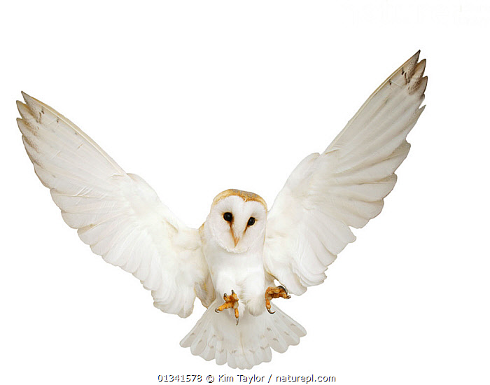 Barn Owl (Tyto alba) pouncing. UK, Captive, ACTION,alert,Balance,BEHAVIOUR,BIRDS,BIRDS OF PREY,captive animal,catalogue4,CONCENTRATION,CUTOUT,EUROPE,FLYING,Nobody,on the move,one animal,OWLS,pouncing,studio shot,talons,UK,VERTEBRATES,WHITE,white background,WILDLIFE,WINGS,wings spread,wingspan,United Kingdom,Raptor, Kim Taylor