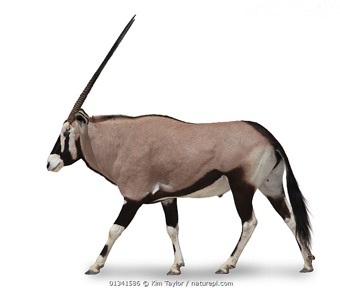 Gemsbok (Oryx gazella) in profile against white background. Endemic to central and southern Africa.  ,  AFRICA,ARTIODACTYLA,BOVIDS,CENTRAL AFRICA,MAMMALS,ORYXES,PROFILE,SOUTHERN AFRICA,VERTEBRATES,WHITE  ,  Kim Taylor