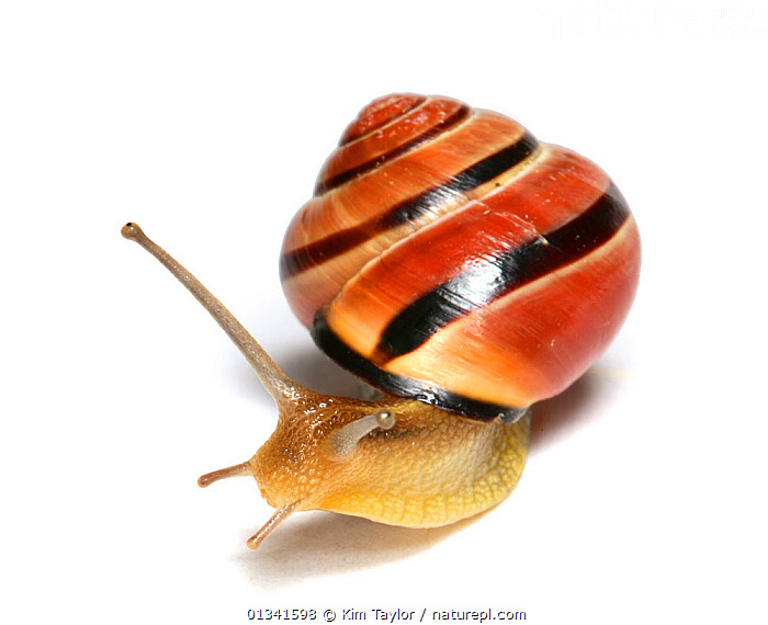 Brown-lipped Banded Snail (Cepaea) against a white background. Surrey, UK, April.  ,  animal marking,catalogue4,close up,curiosity,CUTOUT,EUROPE,GASTROPODS,INVERTEBRATES,MOLLUSCS,Nobody,on the move,one animal,Shell,shells,Slow,SNAILS,spiral,Studio,studio shot,Surrey,UK,WHITE,white background,WILDLIFE,United Kingdom  ,  Kim Taylor