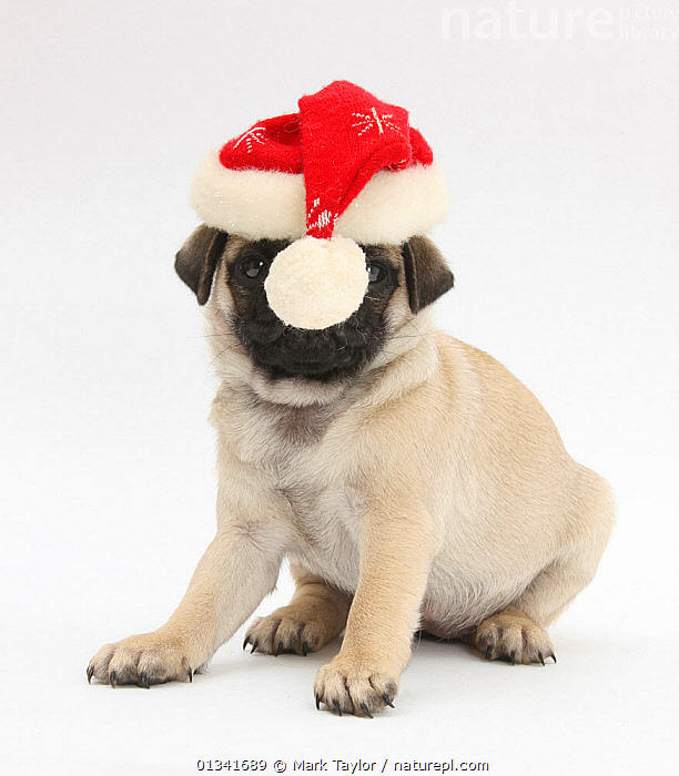 Fawn Pug puppy, 8 weeks, wearing a Father Christmas hat., animal portrait,catalogue4,Christmas,CUTE,CUTOUT,deadpan,DOGS,front view,full length,hats,HUMOROUS,Nobody,obscured face,one animal,PETS,PORTRAITS,pug dog,puppies,puppy,santa hat,SITTING,small dogs,Studio,studio shot,toy dogs,VERTEBRATES,VERTICAL,WHITE,young animal,Concepts,Canids,,cutout,white background,, Mark Taylor