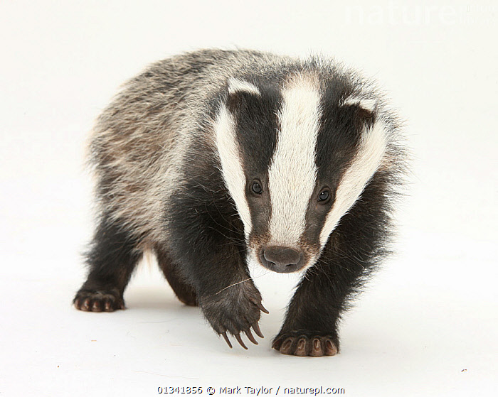 Portrait of a young Badger (Meles meles).  ,  animal marking,BADGERS,BLACK,CARNIVORES,catalogue4,CLAWS,close up,curiosity,CUTE,CUTOUT,first steps,looking at camera,MAMMALS,MUSTELIDS,Nobody,one animal,Studio,studio shot,VERTEBRATES,WALKING,WHITE,white background,WILDLIFE,young animal  ,  Mark Taylor