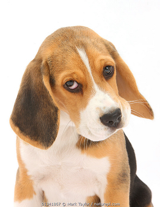 Portrait of a Beagle puppy.  ,  animal portrait,Beagle,catalogue4,close up,CUTE,CUTOUT,disbelief,DOGS,EXPRESSIONS,hounds,looking at camera,medium dogs,Nobody,one animal,PETS,PORTRAITS,puppies,puppy,questioning,Studio,studio shot,suspicious,VERTEBRATES,VERTICAL,WHITE,white background,young animal,Canids  ,  Mark Taylor