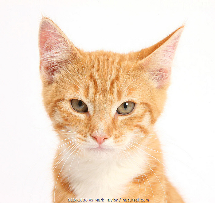 Portrait of a ginger kitten.  ,  animal head,animal portrait,BABIES,blue eyes,catalogue4,CATS,close up,CUTE,CUTOUT,DETERMINATION,EXPRESSIONS,FLUFFY,ginger colour,HEADS,kitten,looking at camera,Nobody,one animal,PETS,PORTRAITS,sly,Studio,studio shot,VERTEBRATES,WHITE,white background,YOUNG,young animal  ,  Mark Taylor