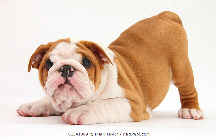 Playful Bulldog puppy, 8 weeks, in play-bow., BABIES,CUTE,CUTOUT,DOGS,HUMOROUS,LOOKING AT CAMERA,MEDIUM DOGS,PETS,PLAYING,PUPPIES,STUDIO,UTILITY DOGS,VERTEBRATES,WHITE,Concepts,Canids,,cutout,white background,, Mark Taylor