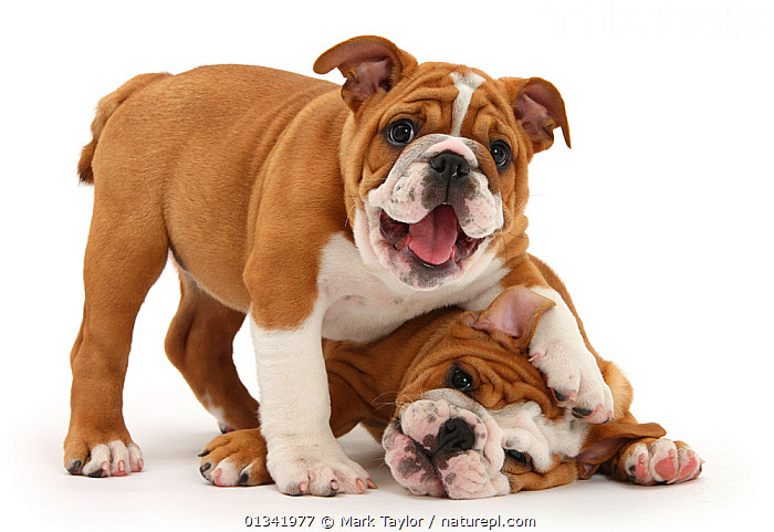 Two playful Bulldog puppies, 11 weeks., BABIES,COLOUR COORDINATED,CUTE,CUTOUT,DOGS,FRIENDS,HUMOROUS,LOOKING AT CAMERA,MEDIUM DOGS,PETS,PUPPY,STUDIO,TWO,UTILITY DOGS,VERTEBRATES,WHITE,Concepts,Canids,,cutout,white background,, Mark Taylor