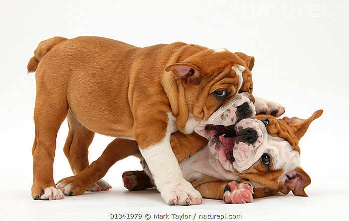 Nature Picture Library Two Playful Bulldog Puppies 11