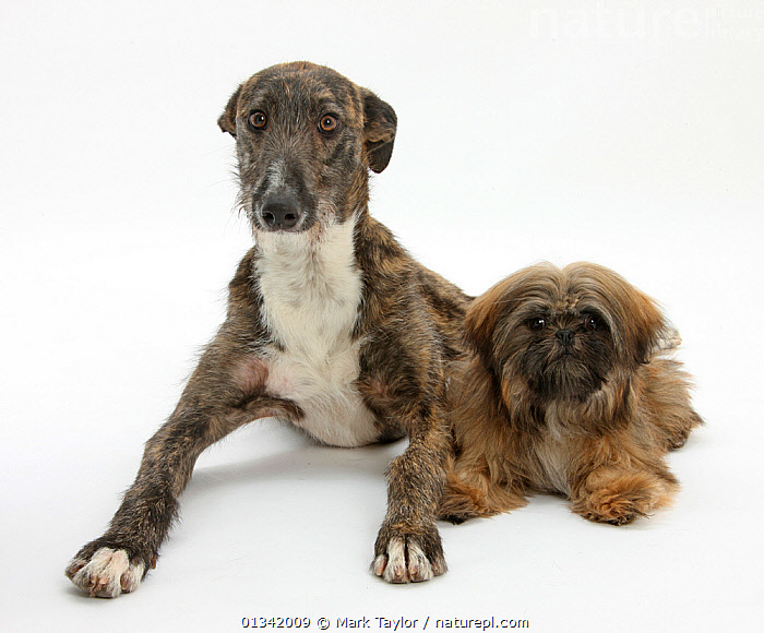 Nature Picture Library Brindle Lurcher Dog And Brown Shih Tzu