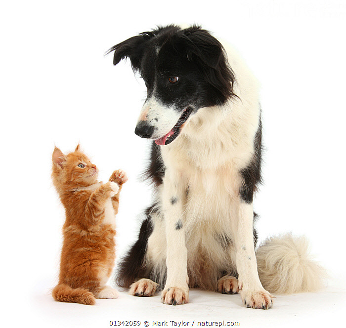 Black-and-white Border Collie looking at ginger kitten. NOT AVAILABLE FOR BOOK USE  ,  BABIES,CANIS FAMILIARIS,CATS,CUTE,CUTOUT,DOGS,DOMESTIC CAT,DOMESTIC DOG,FELIS CATUS,FLUFFY,FRIENDS,MEDIUM DOGS,MIXED SPECIES,PASTORAL DOGS,PETS,SITTING,STUDIO,TWO,VERTEBRATES,WHITE,Canids  ,  Mark Taylor