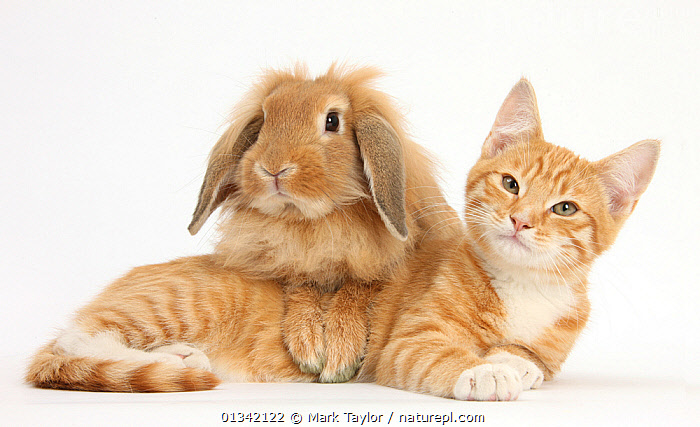 Ginger kitten with sandy Lionhead-Lop rabbit. NOT AVAILABLE FOR BOOK USE  ,  BABIES,CATS,COLOUR COORDINATED,CUTE,CUTOUT,DOMESTIC CAT,DOMESTIC RABBIT,FELIS CATUS,FLUFFY,FRIENDS,LYING,MIXED SPECIES,ORYCTOLAGUS CUNICULUS,PETS,RABBITS,STUDIO,TWO,VERTEBRATES,WHITE  ,  Mark Taylor