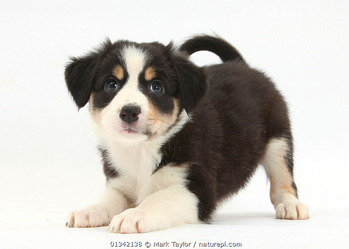 Tricolour Border Collie puppy in play-bow.  ,  BABIES,CUTE,CUTOUT,DOGS,FLUFFY,LOOKING AT CAMERA,MEDIUM DOGS,PASTORAL DOGS,PETS,PORTRAITS,PUPPIES,STUDIO,VERTEBRATES,WHITE,Canids,,cutout,white background,  ,  Mark Taylor