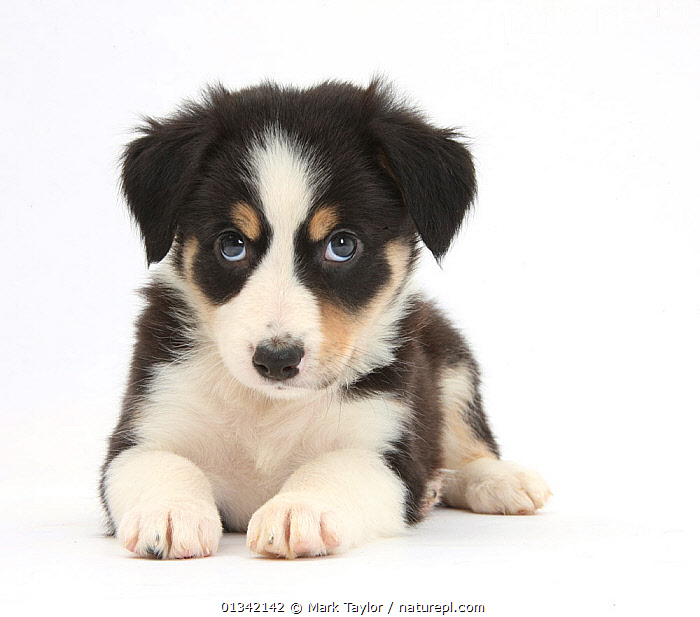 Tricolour Border Collie puppy.  ,  animal portrait,BABIES,blue eyes,Border Collie,catalogue4,close up,CUTE,CUTOUT,DOGS,EXPRESSIONS,facial expression,FLUFFY,guilt,looking up,lying,medium dogs,naughty,Nobody,one animal,pastoral dogs,PETS,PORTRAITS,puppies,puppy,SITTING,Studio,studio shot,VERTEBRATES,WHITE,white background,young animal,Canids  ,  Mark Taylor