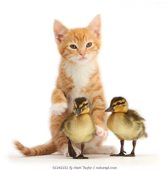 Ginger kitten and Mallard ducklings. NOT AVAILABLE FOR BOOK USE, ANAS,BABIES,CATS,CHICKS,CUTE,CUTOUT,DOMESTIC CAT,DOMESTIC DUCK,DUCKS,FELIS CATUS,FLUFFY,FRIENDS,MIXED SPECIES,PETS,PORTRAITS,STUDIO,THREE,VERTEBRATES,VERTICAL,WHITE, Mark Taylor