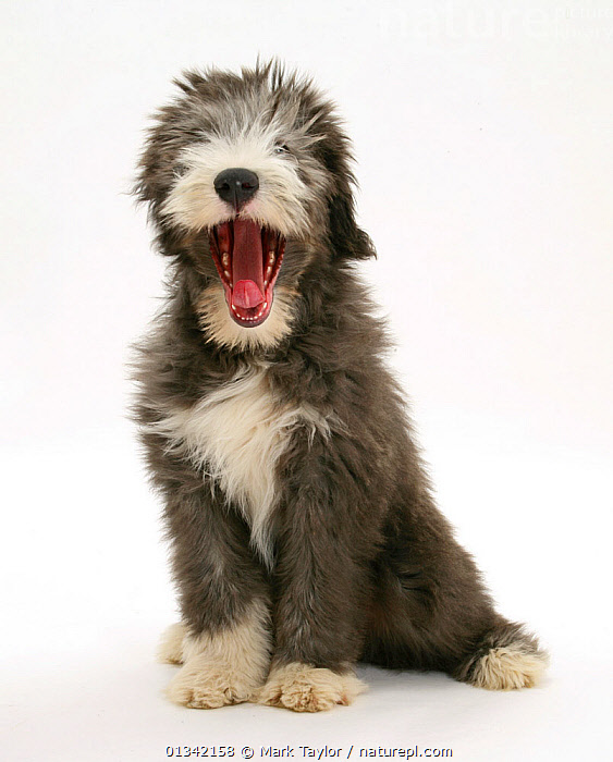 Blue Bearded Collie puppy, 3 months, yawning., animal marking,animal portrait,BABIES,blue beareded,catalogue4,close up,Collie dog,CUTE,CUTOUT,DOGS,FLUFFY,front view,full length,grey,HUMOROUS,medium dogs,Nobody,one animal,open mouth,pastoral dogs,PETS,PORTRAITS,puppies,puppy,SITTING,smooth coat,Studio,studio shot,tired,VERTEBRATES,VERTICAL,WHITE,white background,white colour,yawning,young animal,Concepts,Canids, Mark Taylor
