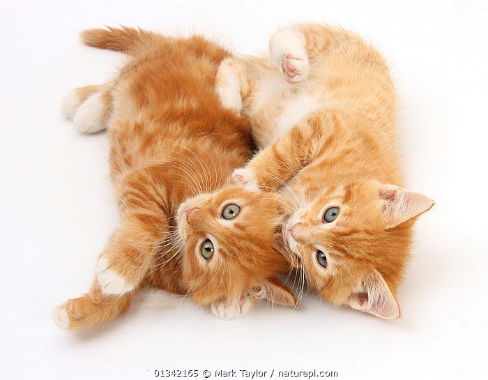 Two ginger kittens rolling playfully on their sides. NOT AVAILABLE FOR BOOK USE  ,  BABIES,blue eyes,catalogue4,CATS,colour coordinated,CUTE,domestic cat,felis catus,FLUFFY,FRIENDS,FRIENDSHIP,full length,ginger colour,kitten,lying,lying on floor,MIXED SPECIES,Nobody,PETS,playful,PORTRAITS,silbings,Studio,studio shot,two,two animals,VERTEBRATES,WHITE,white background,young animal,Concepts  ,  Mark Taylor