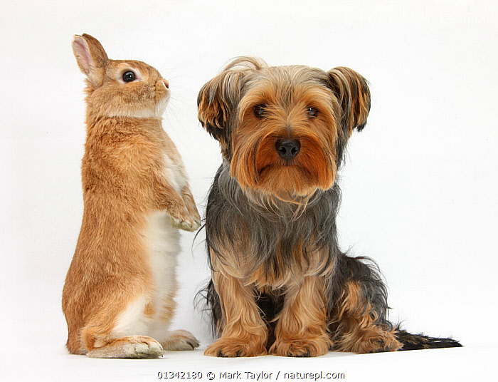 Yorkshire Terrier, with Netherland-cross rabbit. NOT AVAILABLE FOR BOOK USE  ,  animal portrait,BABIES,catalogue4,co operation,CUTE,DOGS,domestic rabbit,EXPRESSIONS,FLUFFY,FRIENDS,FRIENDSHIP,looking at camera,mixed species,MIXED SPECIES,netherland cross,Nobody,Oryctolagus cuniculus,PETS,PORTRAITS,RABBITS,side by side,SITTING,small dogs,Studio,studio shot,terriers,two,two animals,VERTEBRATES,WHITE,white background,yorkshire terrier,Concepts,Canids  ,  Mark Taylor