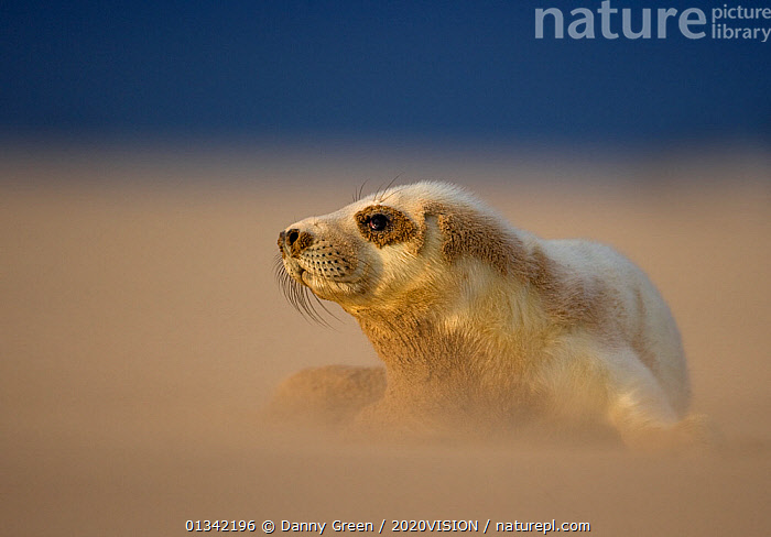 Grey Seal (Halichoerus grypus) pup resting on sand bank during sandstorm, Donna Nook, Lincolnshire, England, UK, November, 2020VISION,BABIES,BEACHES,COASTS,CUTE,DGR_22112009_0129,ENGLAND,EUROPE,MAMMALS,MARINE,PHOCIDAE,PINNIPEDS,PORTRAITS,RESERVE,SEALS,SEAS,UK,VERTEBRATES,CARNIVORES ,United Kingdom,2020cc, Danny Green / 2020VISION