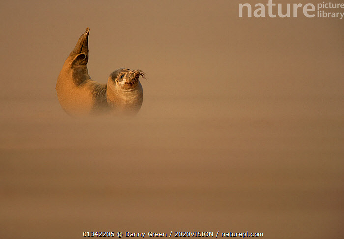 Common Seal (Phoca vitulina) pup resting on sandbank during sandstorm with tail flippers raised in the air, Donna Nook, Lincolnshire, England, UK, October  ,  2020VISION,ALONE,BABIES,BEACHES,BEHAVIOUR,COASTS,DGR_25102009_0117,ENGLAND,EUROPE,MAMMALS,MARINE,PHOCIDAE,PINNIPEDS,RESERVE,SEALS,SEAS,UK,VERTEBRATES,YOUNG,CARNIVORES ,United Kingdom  ,  Danny Green / 2020VISION