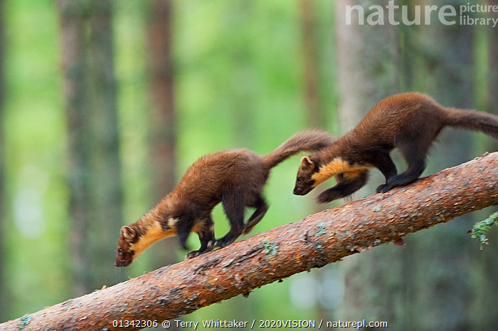 Pine marten (Martes martes) two 4-5 month kits running along branch of tree in caledonian forest, The Black Isle, Highlands, Scotland, UK, July. Photographer quote: 'Watching a family of young pine martens at play in the forest was a joy. And well worth the weeks spent in a small hide.' Did you know? Pine martens are members of the stoat family and are now mainly confined to northern Scotland.  ,  2020VISON,BEHAVIOUR,BRANCHES,Caledonian,CARNIVORES,CONIFEROUS,EUROPE,forest,FORESTS,HIGHLANDS,JUVENILE,MAMMALS,MARTENS,Mustelidae,picday,play,protected,rare,RUNNING,SCOTLAND,Scottish,The Caledonian Pinewoods,TREES,twh_250710_0050,two,UK,VERTEBRATES,WOODLANDS,Communication,PLANTS,United Kingdom,2020cc  ,  Terry Whittaker / 2020VISION