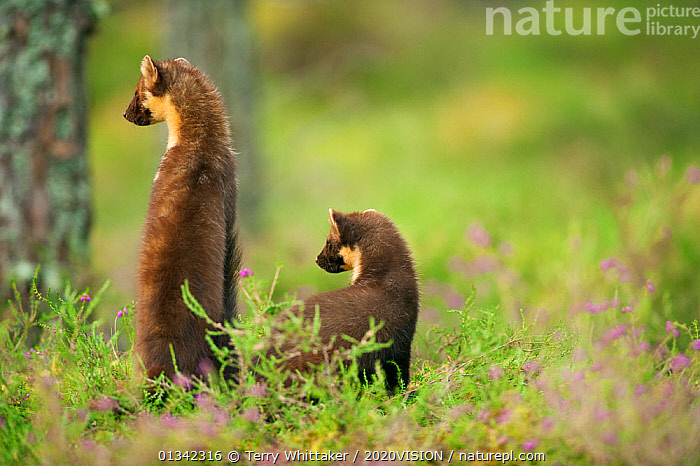 Pine marten (Martes martes) rear view of adult female standing up with 4-5 month kit in caledonian forest, The Black Isle, Highlands, Scotland, UK, July.  ,  2020VISON,CALEDONIAN,CARNIVORES,CONIFEROUS,EUROPE,FAMILIES,FOREST,FORESTS,HIGHLANDS,JUVENILE,MAMMALS,MARTENS,MOTHER BABY,MUSTELIDAE,PROTECTED,RARE,SCOTLAND,SCOTTISH,THE CALEDONIAN PINEWOODS,TREES,TWH_250710_0060,TWO,UK,VERTEBRATES,WOODLANDS,PLANTS,United Kingdom,2020cc  ,  Terry Whittaker / 2020VISION