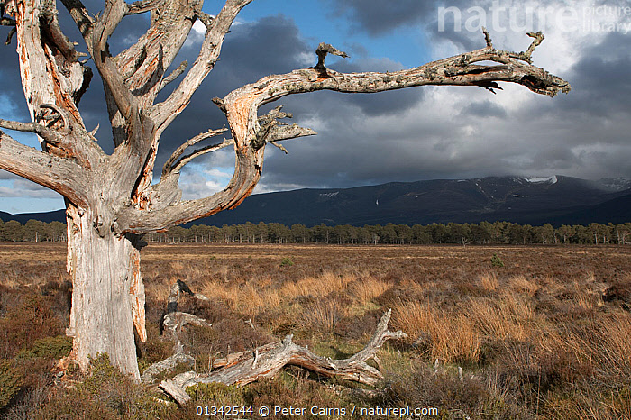 Gnarled Scots Pine (Pinus sylvestris) tree framing western Grampians crowned with heavy clouds. Cairngorms National Park, Scotland, May., CALEDONIA BOOK,CONIFERS,DECAY,EUROPE,GYMNOSPERMS,HIGHLANDS,LANDSCAPES,MARSHES,MOUNTAINS,NP,PINACEAE,PINES,PLANTS,SCOTLAND,TREES,UK,Wetlands,National Park,United Kingdom, Peter Cairns