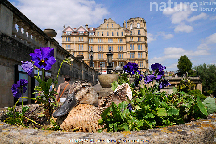 Mallard Duck (Anas platyrhynchos) female nesting in ornamental stone flowerpot among Pansies (Viola x wittrockiana), camouflaged as people walk by. Parade Gardens Park, Bath, UK, June., BEHAVIOUR,BIRDS,BUILDINGS,CAMOUFLAGE,DUCK,DUCKS,EUROPE,FEMALES,FLOWERS,HUMOROUS,NESTS,OUTDOORS,PEOPLE,TOWNS,UK,URBAN,VERTEBRATES,WATERFOWL,Concepts,United Kingdom, Nick Upton