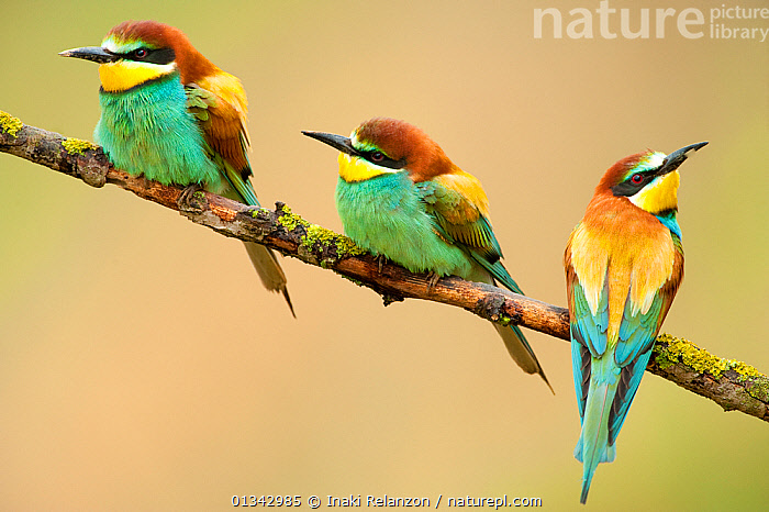 European Bee-eaters (Merops apiaster) perching. The Pyrenees, Spain, May., BEE EATERS,BIRDS,COLOURFUL,EUROPE,FAMILIES,FRIENDS,PYRENEES,SPAIN,THREE,VERTEBRATES, Inaki Relanzon