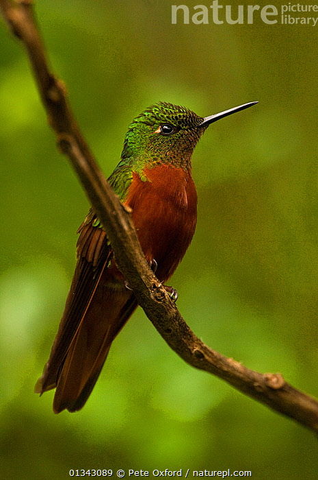 Chestnut-breasted Coronet hummingbird(Boissonneaua matthewsii) perching. Guango cloud forest, Ecuador.  ,  BIRDS,ECUADOR,HUMMINGBIRDS,SOUTH AMERICA,TROPICAL RAINFOREST,VERTEBRATES,VERTICAL  ,  Pete Oxford
