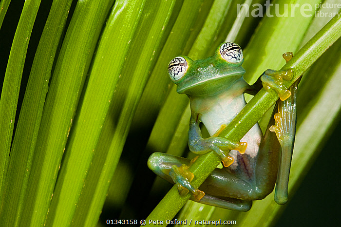 Glass Frog (Espadarana callistomma / centrolenidae). Captive. Choc� Region of northwest Ecuador.  ,  AMPHIBIANS,ANURA,ECUADOR,FROGS,GLASS FROGS,SOUTH AMERICA,VERTEBRATES  ,  Pete Oxford