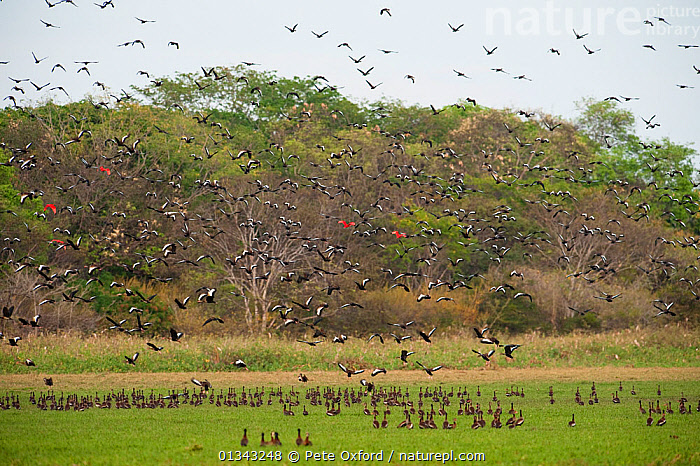 Mixed flock of whistling ducks and ibis taking flight. White-faced Whistling Duck (Dendrocygna viduata), Black-bellied Whistling-duck (Dendrocygna autumnalis), Scarlet Ibis (Eudocimus ruber). Hato Masaguarel working farm and biological station, Guarico Province, Venezuela.  ,  BIRDS,DUCKS,FLYING,HABITAT,IBISES,LARGE GROUPS,MIXED SPECIES,MULTITUDES,SOUTH AMERICA,VENEZUELA,VERTEBRATES,WATERFOWL,WHISTLING DUCKS  ,  Pete Oxford