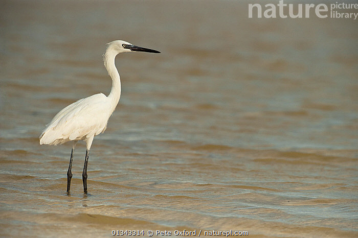 White morph of a Reddish Egret (Egretta rufescens) standing in shallow water. Sian Ka'an Biosphere Reserve, Yucatan Peninsula, Mexico., BIRDS,CENTRAL AMERICA,HERONS,MEXICO,NP,RESERVE,VERTEBRATES,WATER,YUCATAN,National Park, Pete Oxford