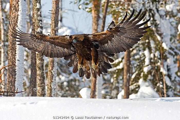 Golden eagle (Aquila chrysaetos) about to land on snow, Oulanka NP, Finland, February  ,  BIRDS,BIRDS OF PREY,catalogue4,close up,EAGLES,EUROPE,Finland,flight,FLYING,LANDING,national park,Nobody,NP,on the move,one animal,Oulanka,rural,SNOW,TREES,VERTEBRATES,WILDLIFE,WINGS,wings spread,wingspan,WINTER,woodland,WOODLANDS,Scandinavia,PLANTS,Raptor  ,  Lassi Rautiainen