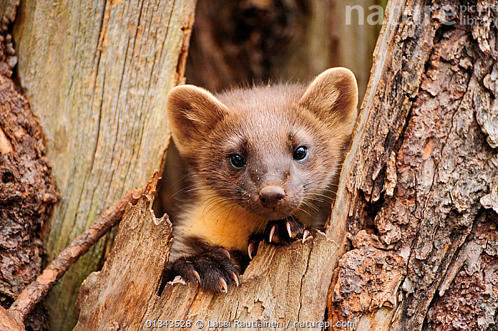 Pine marten (Martes martes) in tree trunk, Finland, July  ,  animal head,BARK,CARNIVORES,catalogue4,Cautious,curiosity,EUROPE,Finland,front view,looking at camera,MAMMALS,MARTENS,MUSTELIDS,Nobody,one animal,PORTRAITS,shy,timid,tree trunk,TREES,TRUNKS,VERTEBRATES,whiskers,WILDLIFE,Plants,Scandinavia  ,  Lassi Rautiainen