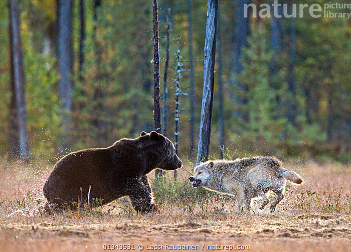 Brown bear (Ursus arctos) and Grey wolf (Canis lupus) showing aggression, Kuhmo, Finland, September  ,  AGGRESSION,BEARS,CARNIVORES,EUROPE,FIGHTING,FINLAND,INTERACTION,MAMMALS,MIXED SPECIES,SNARLING,URSIDAE,VERTEBRATES,WOODLANDS,Scandinavia  ,  Lassi Rautiainen