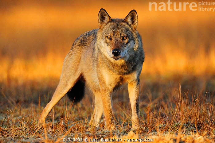 Wild Grey wolf (Canis lupus) Kuhmo, Finland, September  ,  CANIDAE,CARNIVORES,EUROPE,EYES,FINLAND,LOOKING AT CAMERA,MAMMALS,PORTRAITS,VERTEBRATES,WOLVES,Scandinavia,Dogs,Canids  ,  Lassi Rautiainen