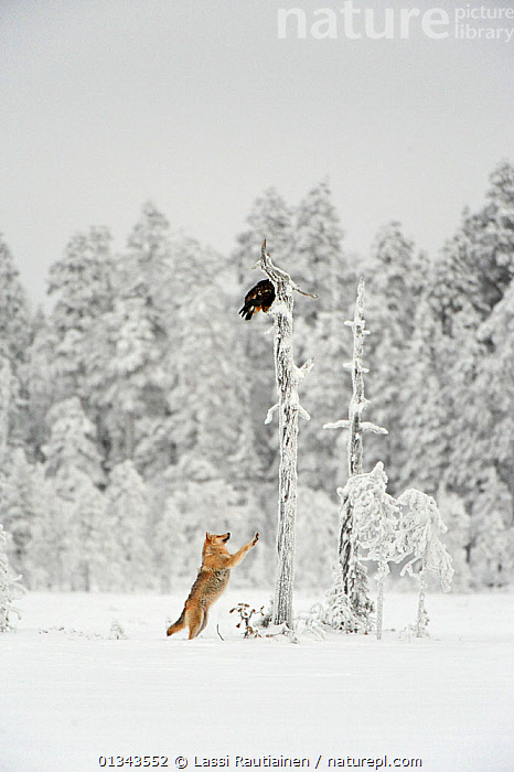 Grey wolf (Canis lupus) in woodland in thick snow jumping up at eagle perched on dead tree stump overhead, Finland, December  ,  BEHAVIOUR,BIRDS,BIRDS OF PREY,CANIDAE,CARNIVORES,EUROPE,FINLAND,MAMMALS,SNOW,VERTEBRATES,VERTICAL,WHITE,WINTER,WOLVES,WOODLANDS,Scandinavia,Dogs,Canids  ,  Lassi Rautiainen