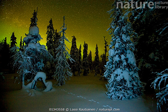 Beginnings of the Northern lights in night sky in winter with conifer trees laden with snow, Kuusamo, northern Finland, February 2009  ,  catalogue4,conifer tree,CONIFEROUS,EUROPE,Finland,footrpints,footsteps,Imprint,Kuusamo,meteorology,mystery,nature,NIGHT,Nobody,Northern Lights,SKY,SNOW,STARS,TRACKS,WINTER,woodland,WOODLANDS,YELLOW,Scandinavia  ,  Lassi Rautiainen